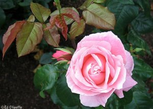 0722_queen_elizabeth_rose_flower